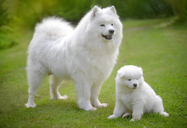 Samoyed dog on the lawn with her puppies picture id588968312?b=1&k=6&m=588968312&s=612x612&w=0&h=bnzts38rhaztuwrh1qejh7nj0x9leaaqsm 6lljwrqc=