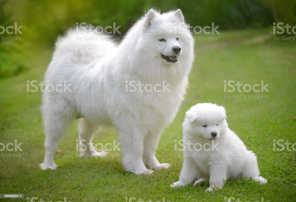 Samoyed dog on the lawn with her puppies stock photo