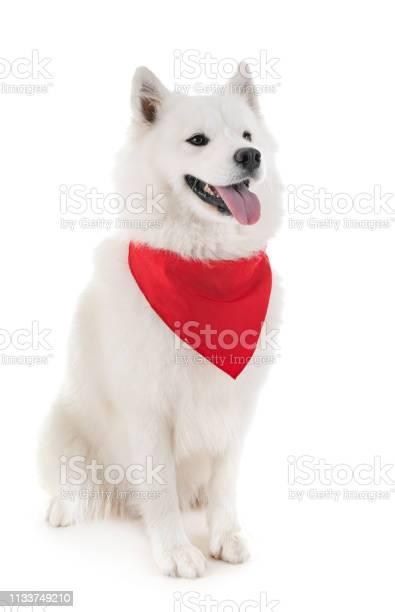Samoyed dog picture id1133749210?b=1&k=6&m=1133749210&s=612x612&h=yqnry oys8jqephppsmz vack97ho gkprh39jyzuro=
