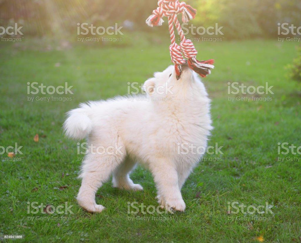 子犬 サモエド