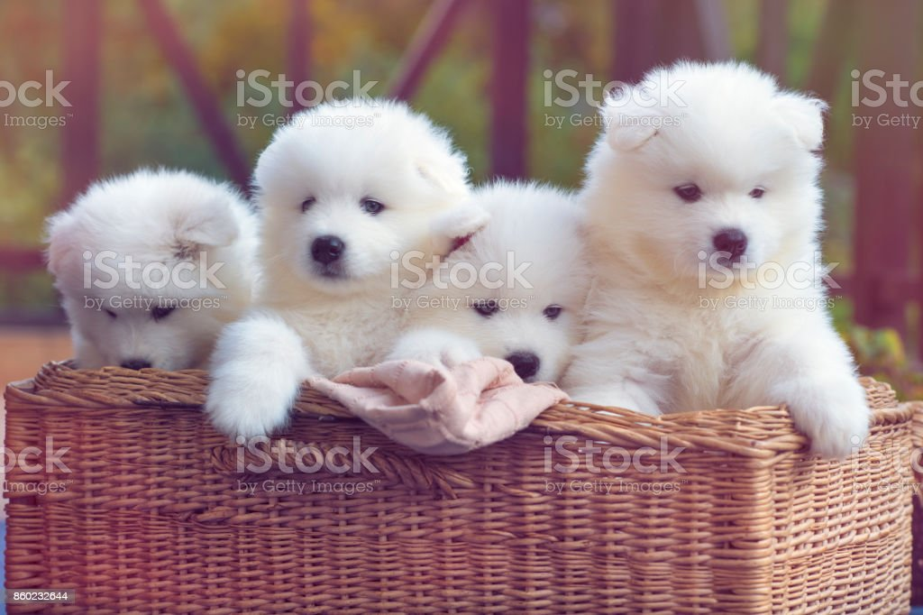 Samoyed dog puppies stock photo