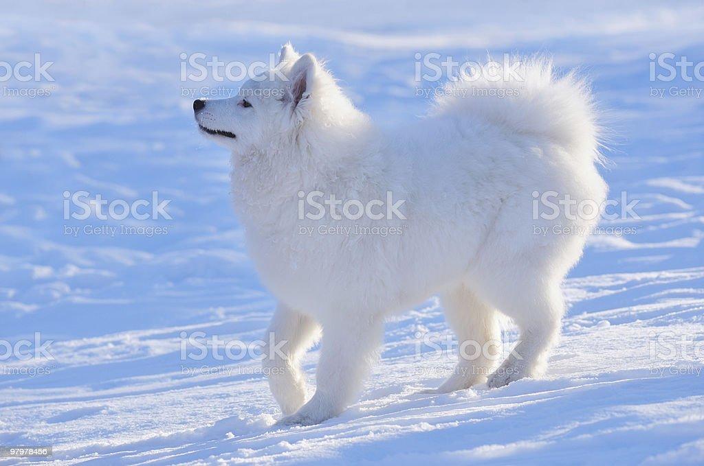 Samoyed dog - puppy royalty-free stock photo