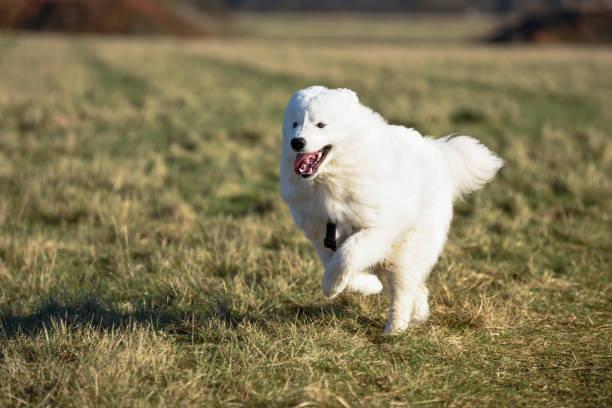 Samojeden Hund läuft auf einem Grasfeld. – Foto