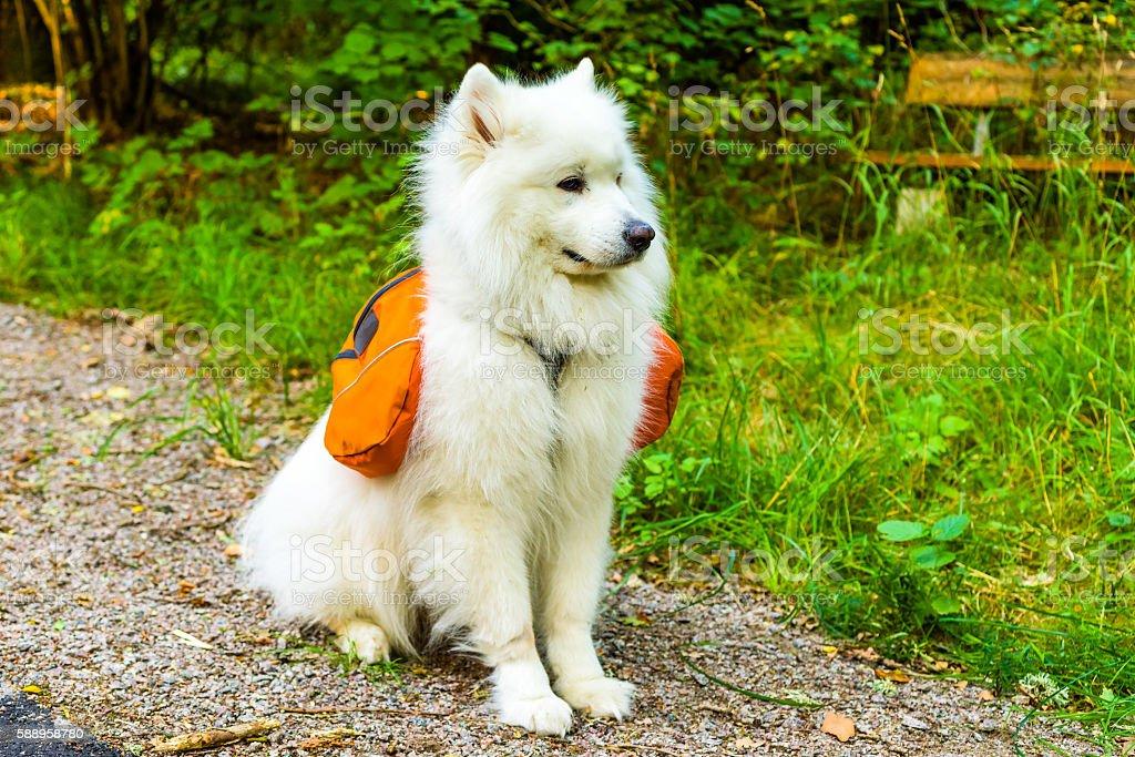 Samoyed dog with pack stock photo