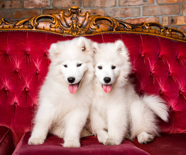 Samoyed dogs on the red luxury couch stock photo