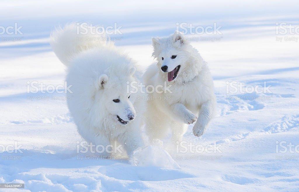 Samojeden Hunde – Foto