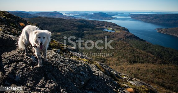 Samoyed husky on mountain top overlooking Fjord in  Preikestolen-Stavanger Norway