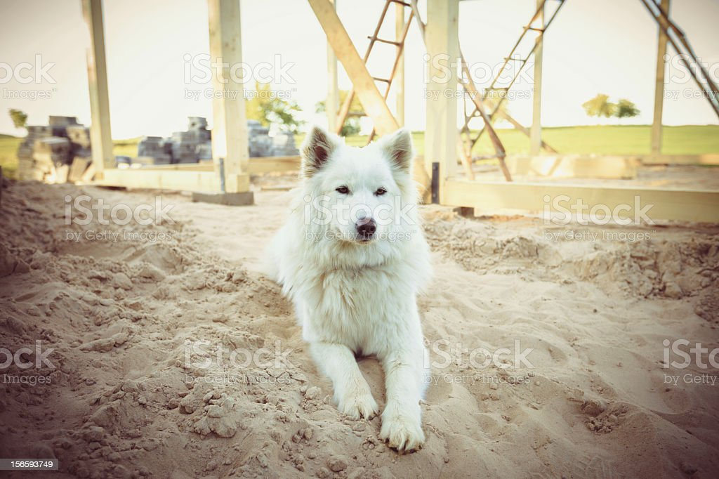 Samoyed laying by the hause construction royalty-free stock photo