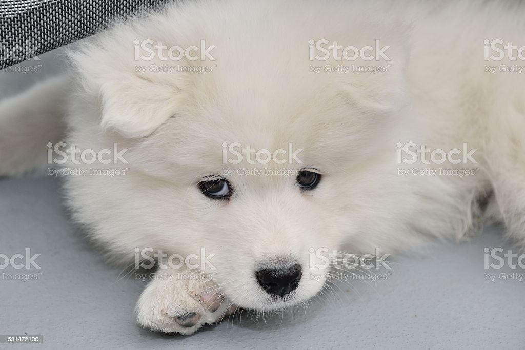 Samoyed Puppy Dog Stock Photo More Pictures Of Animal Istock