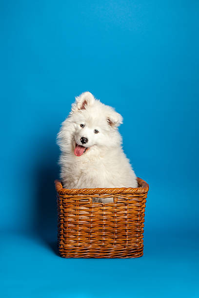 Samoyed puppy dog sitting in basket and smiling at viewer picture id486522301?b=1&k=6&m=486522301&s=612x612&w=0&h=ldrxpkzoydmunzbftcg92bf7jstgn0rari8t6jtnnfa=