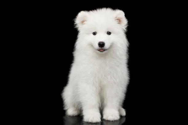 Samoyed puppy isolated on black background picture id683754666?b=1&k=6&m=683754666&s=612x612&w=0&h=txvbbh7m5oubra9o6vt w16pyj5obhovwrxcdkebmam=