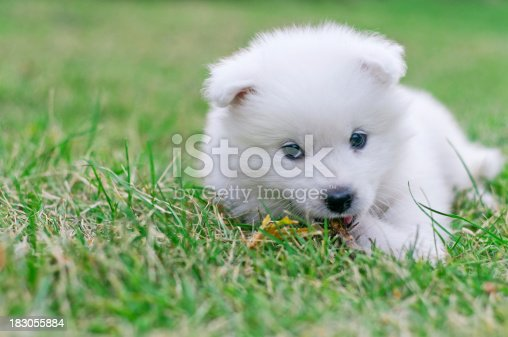 Few weeks old Samoyed puppy waiting for playing in green field.See more images like this in: