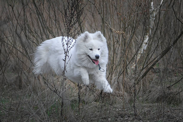 Samoyed. Puppy. – Foto