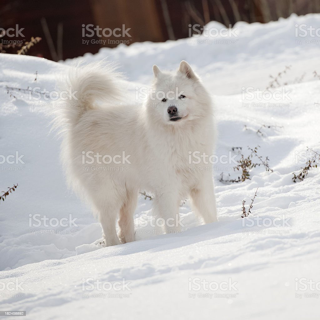 Samoyedo Dog in the Snow royalty-free stock photo