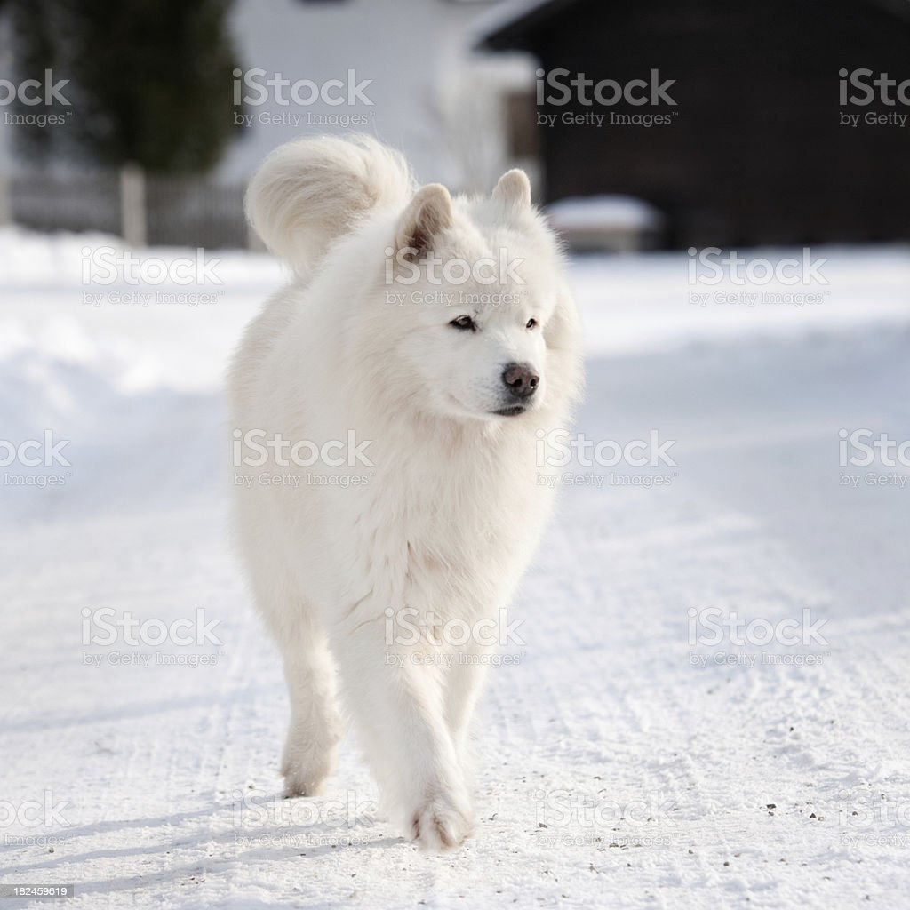 Samoyedo Perro en la nieve foto de stock libre de derechos