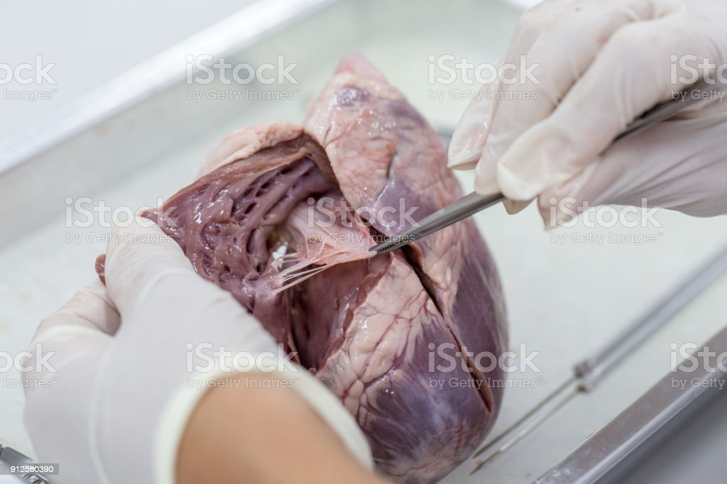 Fotografía de Muestra El Corazón De Estructura Cirugía Del Cerdo ...