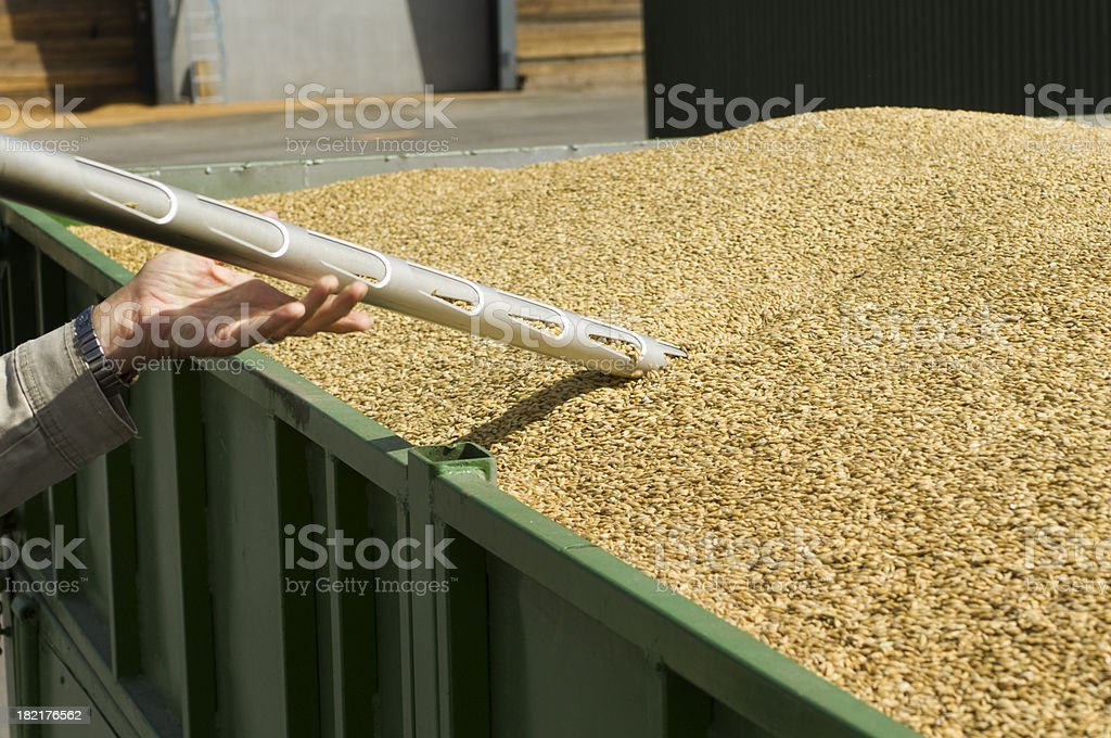 Samples are taken to check grain quality after harvest. royalty-free stock photo