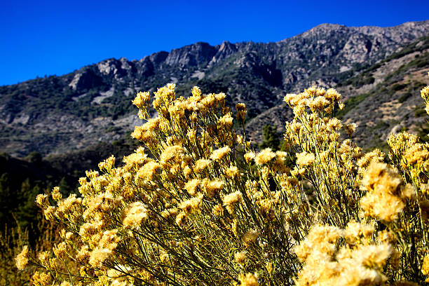 San Bernadino National Forest Mountains Close up of dried yellow wildflowers taken in October in the San Bernadino National Forest mountains north of Redlands and Yucaipa near falls creek and Forest Home and Forest Falls redlands california stock pictures, royalty-free photos & images