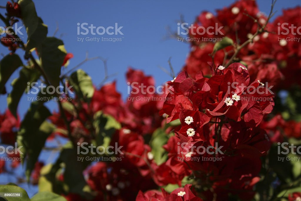 San Diego Red Bougainvillea royalty-free stock photo