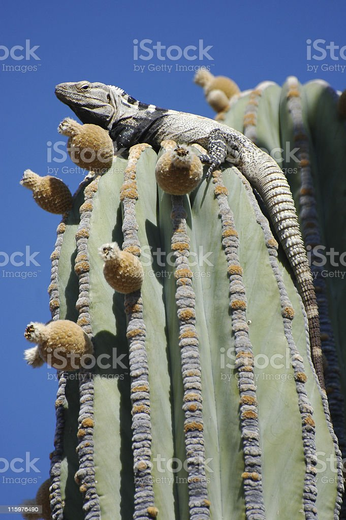 San Esteban spiny-tailed iguana, Ctenosaura conspicuosa, atop cactus royalty-free stock photo
