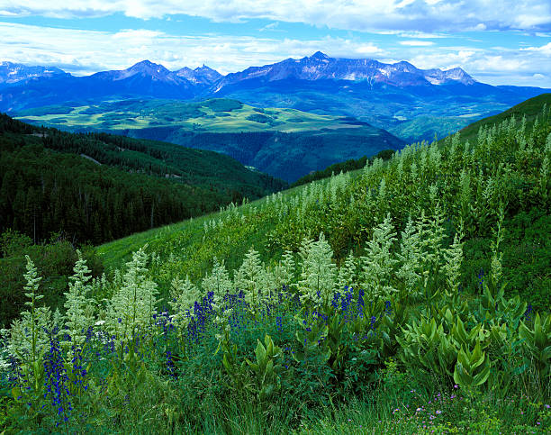San Juan Mountains View of Mount Wilson from the Uncompahgre National Forest, CO. corn lilly stock pictures, royalty-free photos & images