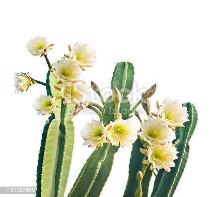 San Pedro Cactus with Beautiful White Flowers isolated on white background