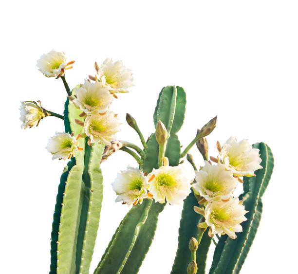 san pedro cactus bloom sur fond blanc - en fleurs photos et images de collection