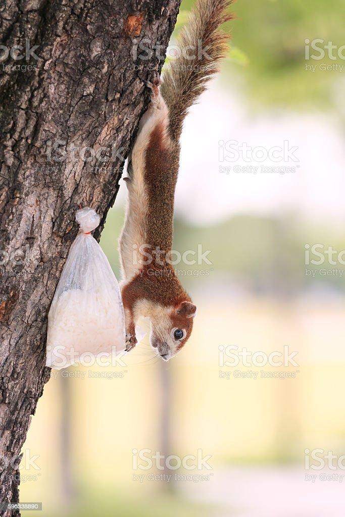 Sanam Luang's squirrel royalty-free stock photo