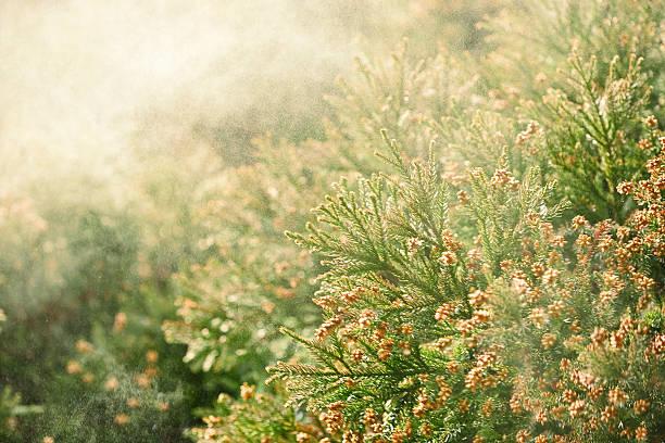 sanbu-sugi cedar - pyłek zdjęcia i obrazy z banku zdjęć