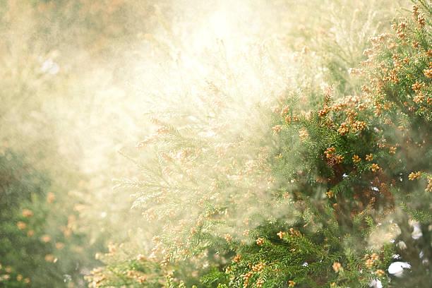 Sanbu-sugi Cedar stock photo