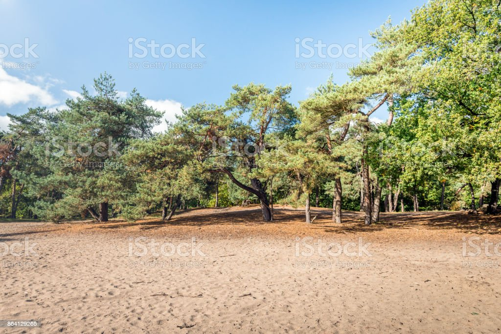 Sand area in a nature reserve with pine trees royalty-free stock photo