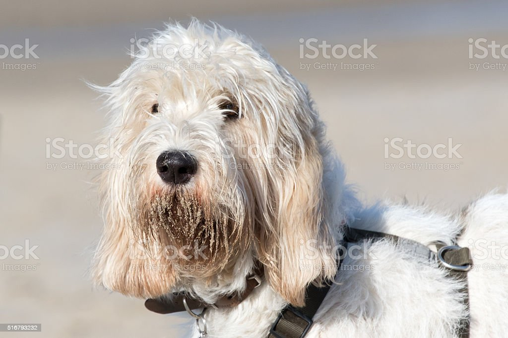 Sand bearded Grand Basset Griffon Vendéen stock photo