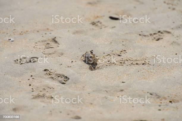 Sand Crab from a far