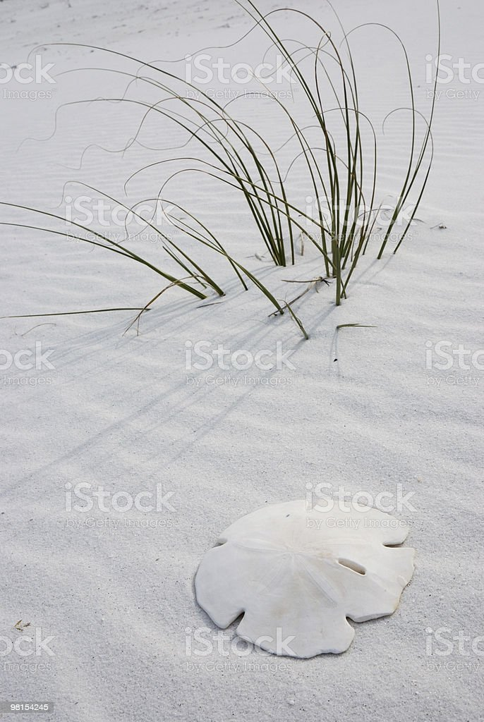 Sand Dollar and Sea Grass royalty-free stock photo