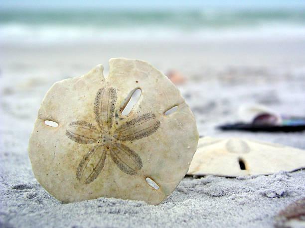 sand dollar in ruhe - sanddollars stock-fotos und bilder