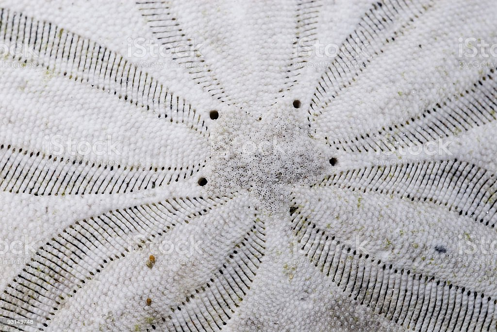 Sand Dollar - Macro stock photo