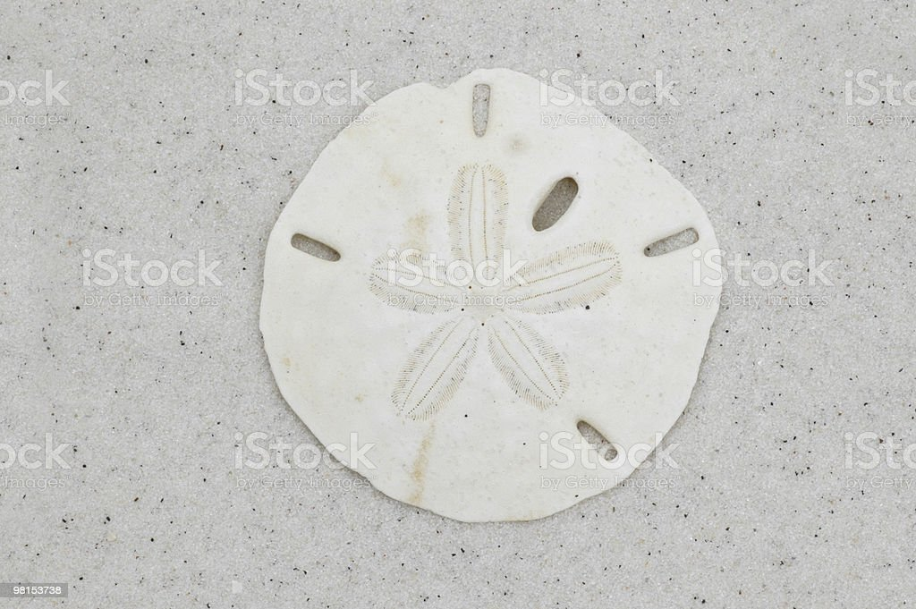 Sand Dollar royalty-free stock photo