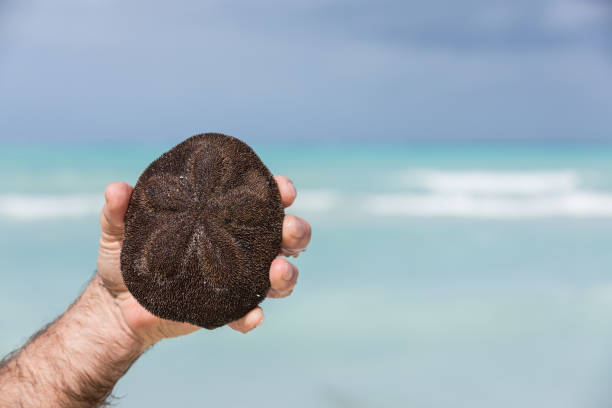 sanddollar seeigel am strand, cayo coco, kuba - sanddollars stock-fotos und bilder