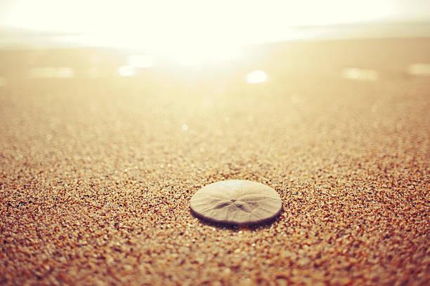 sand dollar-waschung am strand - sanddollars stock-fotos und bilder