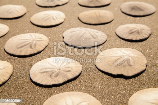Patterned Sand Dollars on Brown Beach Sand.