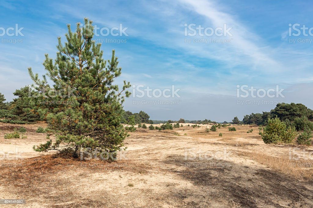 Sand drifts with trees at Dutch National Park Veluwe stock photo