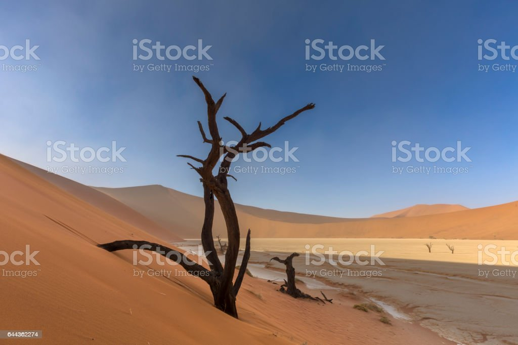 Sand dune and dead camelthorn tree stock photo