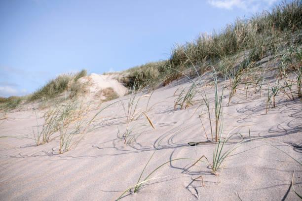 sanddyn på sommaren med färska lyme grass - sand dune sweden bildbanksfoton och bilder