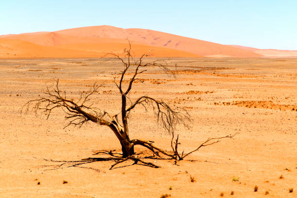 sand dunes and withered tree, namibia - dead plant stock photos and pictures