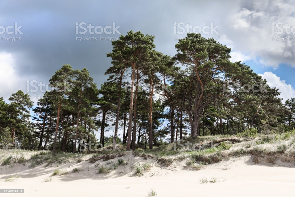 Sand dunes with pine trees stock photo