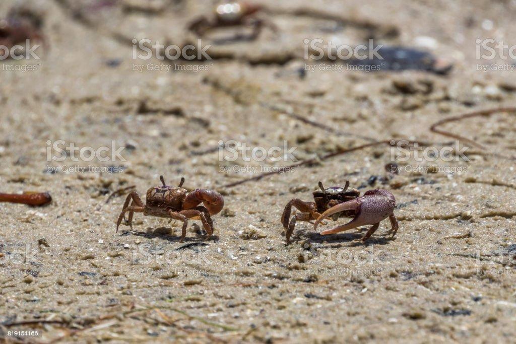 Sand Fiddler Crabs, J.N. ''Ding'' Darling National Wildlife Refuge, Sanibel Island, Florida, USA stock photo