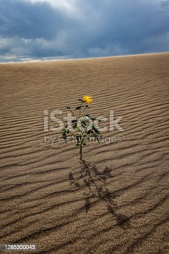 Yellow flower in sand