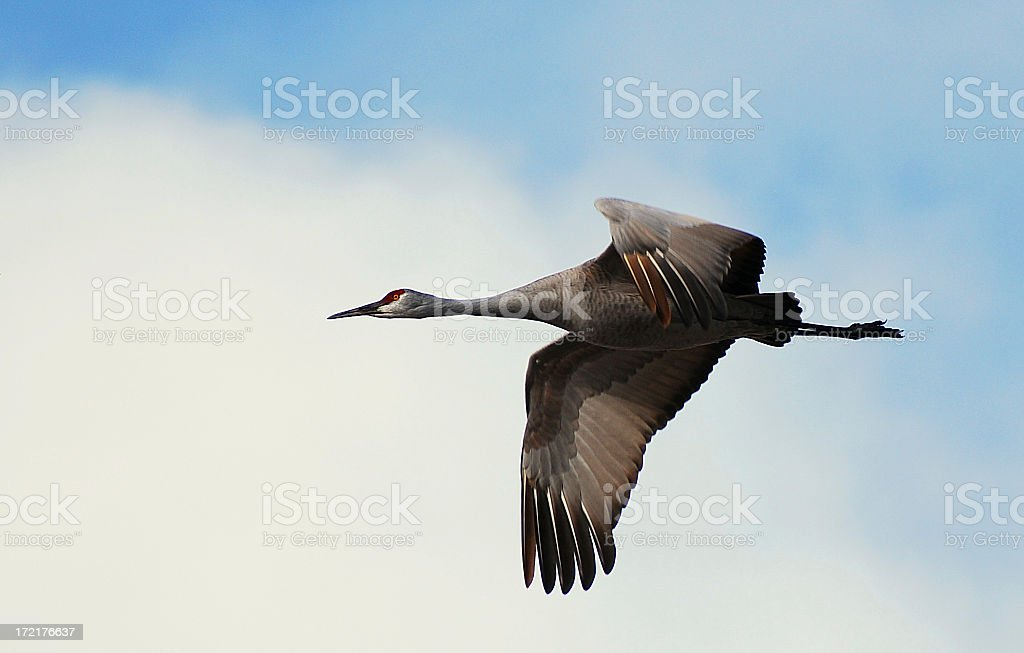 Sand Hill Crane (Grus Canadensis) in Flight royalty-free stock photo