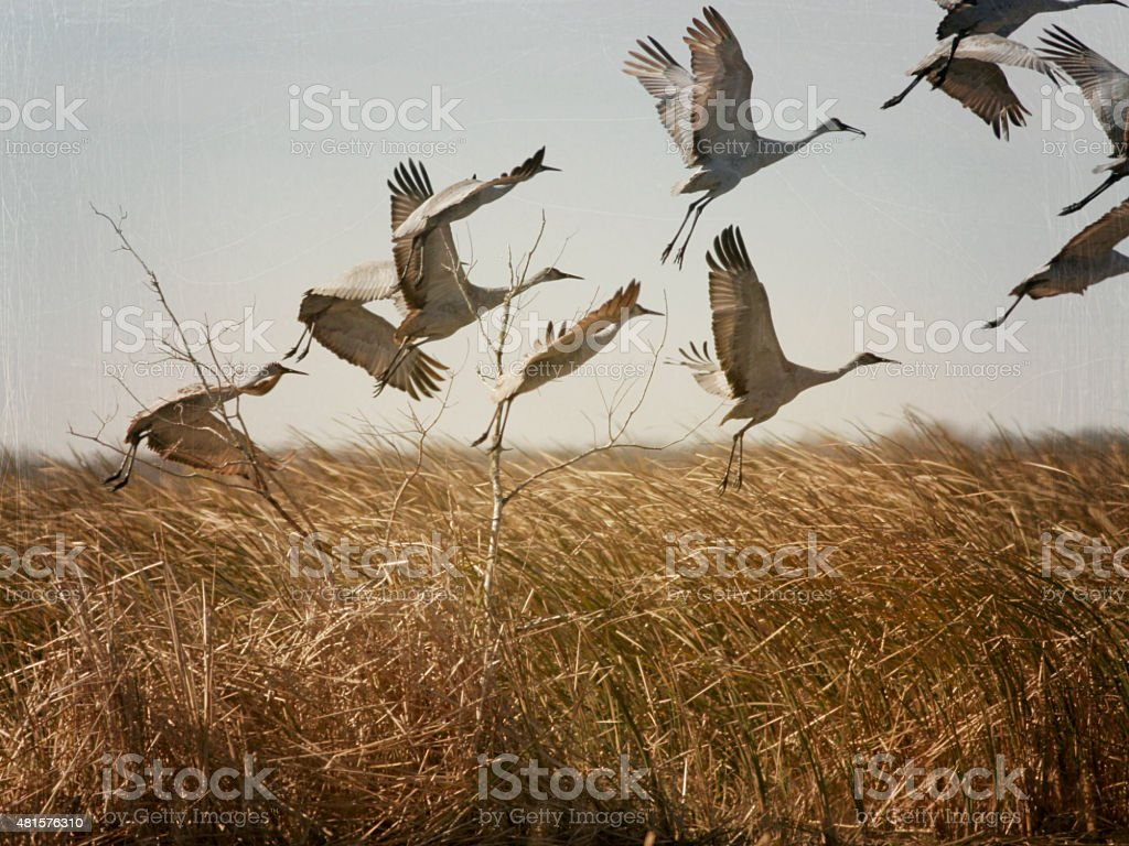 Sand hill Cranes Tacking Off Abstract stock photo