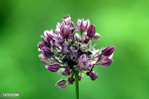 Close-uo on a Sand Leek (Allium scorodoprasum)